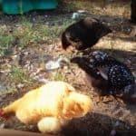#WW – Kansas chicks