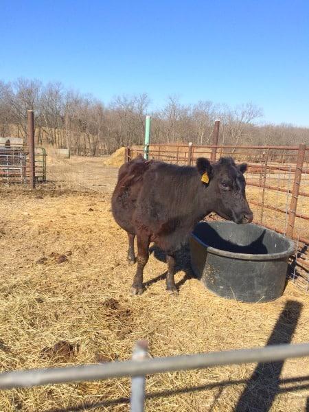 pregnant mama cow