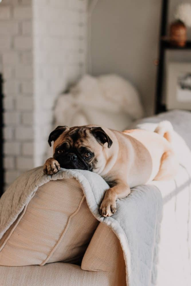 A pug dog laying on a couch